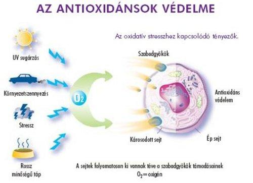 Glikogén - funkciói és szerepe az emberi izmokban és a májban